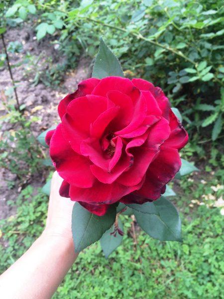 Borisova-gradina-rozarium-roza
