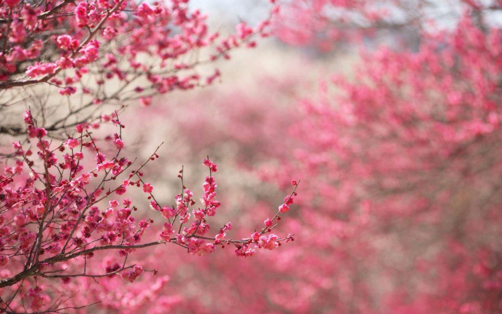 японски-вишни-борисова-градина